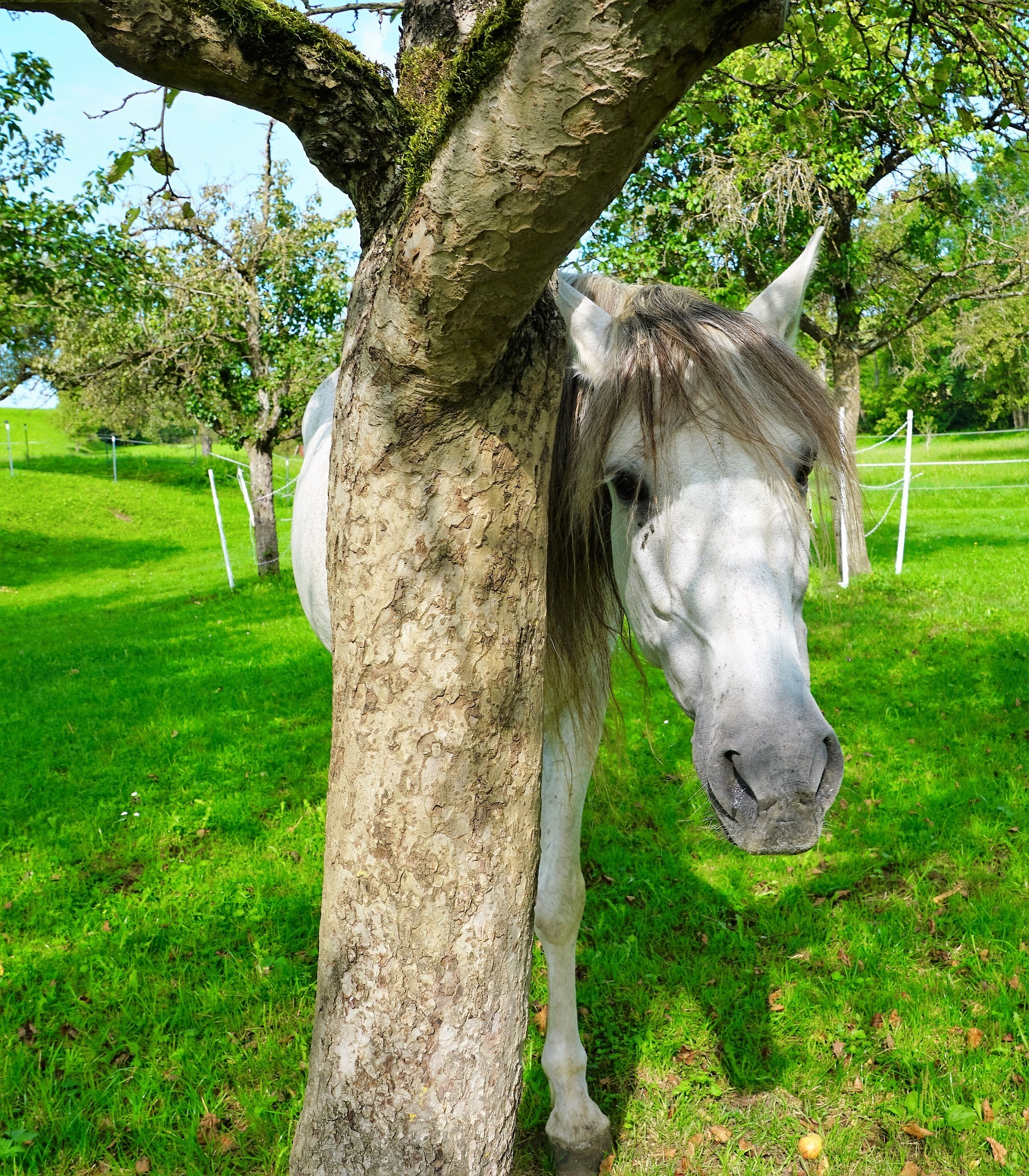 Grey horse in the shade of a tree